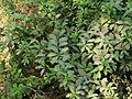 Allamanda cathartica (3051674843).jpg