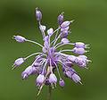 Allium olympicum - Uludag Onion - Uludağ soğanı 2.jpg