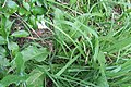 Allium triquetrum L. (AM AK343850-1).jpg