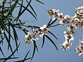Almond in Jerusalem-2 (5493829989).jpg