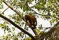Alouatta macconnelli (Female and juvenile).jpg