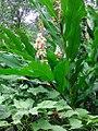 Alpinia hainanensis.jpg