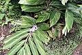 Alpinia zerumbet 18zz.jpg