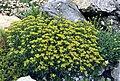 Alyssum serpyllifolium.jpg