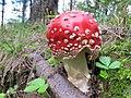 Amanita muscaria (30038621416).jpg