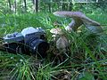 Amanita pantherina - huge - Ss181292.jpg