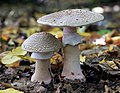 Amanita rubescens, The Blusher, Hertfordshire, UK.jpg