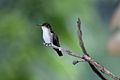 Amazilia candida -Belize-8.jpg