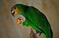 Amazona amazonica at Giza Zoo by Hatem Moushir.jpg