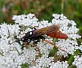 Amblyjoppa fuscipennis. Large Ichneuman Wasp - Flickr - gailhampshire (4).jpg