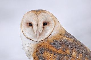 American barn owl species of bird