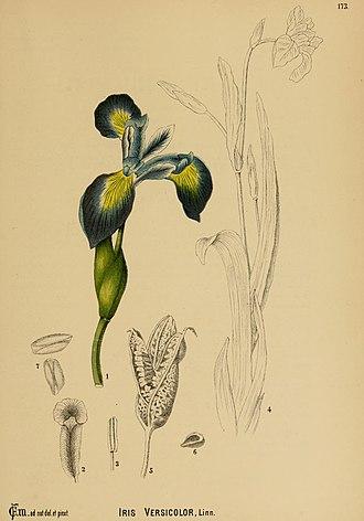 Iris versicolor - Image: American Medicinal Plants 173 0967 Iris versicolor