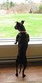 American Pit Bull Terrier looking out window.jpg