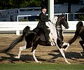American Saddlebred at speed.jpg