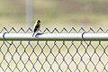 American goldfinch (25708918784).jpg