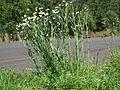 Ammobium alatum plant19 NT - Flickr - Macleay Grass Man.jpg