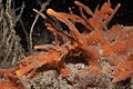 Amphilectus fucorum 7233939.jpg
