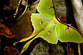 An Arkansas Luna Moth.JPG