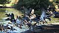 Anas platyrhynchos flock.jpg