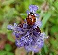 Anatis ocellata (Eyed Ladybird) (48338504817).jpg