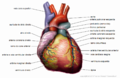 Anatomy Heart Portuguese Tiesworks.png