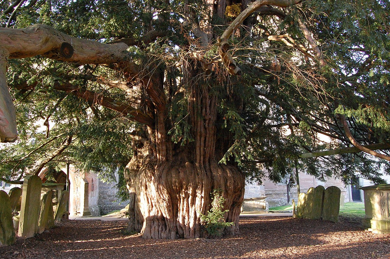File Ancient Yew Tree Much Marcle Church Geograph Org