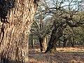 Ancient oaks in High Wood, Richmond Park - geograph.org.uk - 2154592.jpg