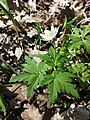 Anemone nemorosa sl10.jpg