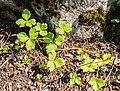 Anemone rivularis in La Jaysinia.jpg