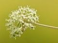 Angelica sylvestris flowers - Keila.jpg