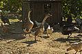 Angry Geese in farmyard.jpg