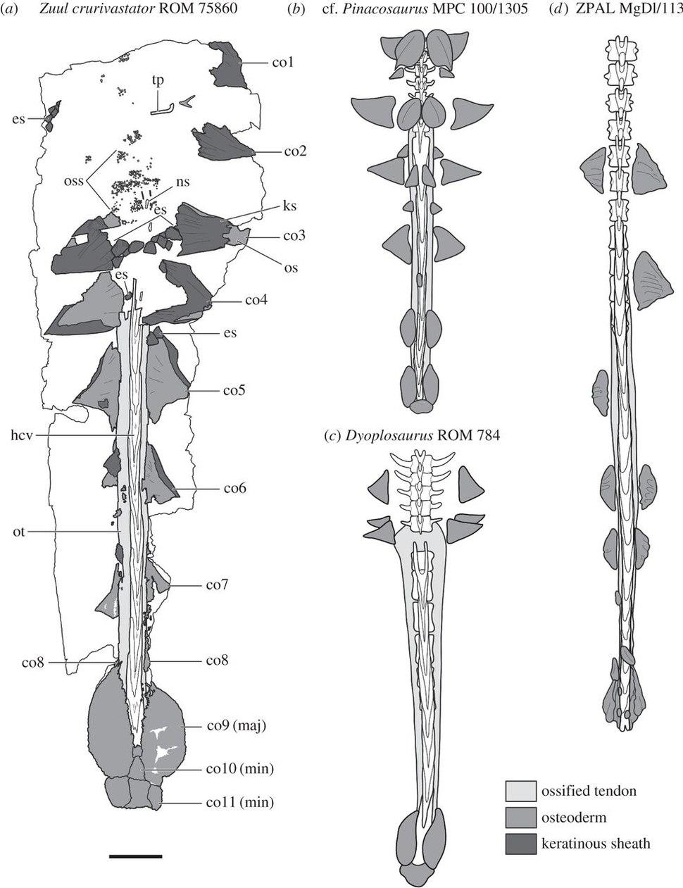 Ankylosaurine tails