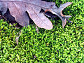 Anomodon viticulosus Autumm SierraMadrona.jpg