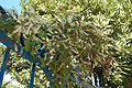 Anredera cordifolia Vendémian.jpg