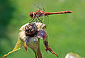 Antaean - dragonfly (by).jpg