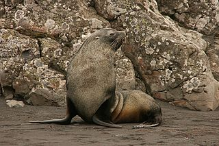 Antarctic fur seal species of mammal