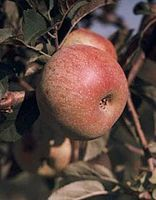 Apple (Foxwhelp cultivar).jpg