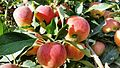 Apples of Paradise.jpg