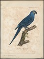 Ara glauca - 1825-1834 - Print - Iconographia Zoologica - Special Collections University of Amsterdam - UBA01 IZ18500133.tif