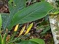 Araceae (Aglaonema nitidum) (15415970917).jpg