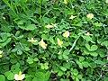 Arachis pintoi habit12 Carol Rose (9528233428).jpg