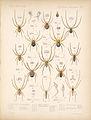 Arachnida Araneidea Vol 1 Table 1.jpg