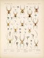 Arachnida Araneidea Vol 1 Table 5.jpg