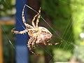 Araneus diadematus underside 1.jpg