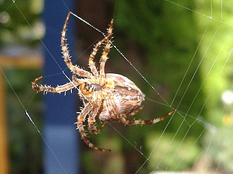 Spider silk - A garden spider spinning its web