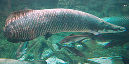 Arapaima gigas at Beijing aquarium.JPG