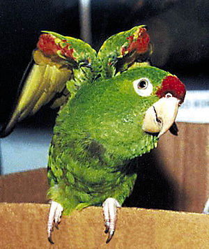 Finsch's parakeet - Image: Aratinga finschi pet 5b
