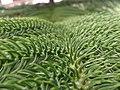 Araucaria columnaris foliage, planted somewhere in India.jpg