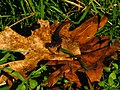 Arboreal Salamander on Black Oak Leaves (8433840954).jpg