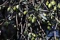 Archangelos Αρχάγγελος Rhodes Ρόδος 2019-11-27 07 olive tree.jpg